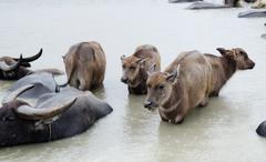 Water buffaloes in Okinawa, used to pull water taxis between Yubu island and the - stock photo