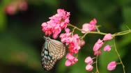 Stock Video Footage of Tropical Butterfly on Pink Flower