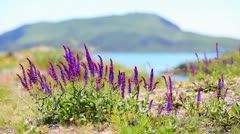 Violet flowers Stock Footage