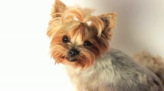 Yorkshire Terrier on White Stock Footage