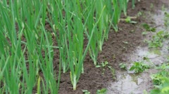 View of chive on the field. Stock Footage