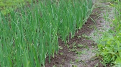 View of chive on the field Stock Footage