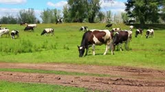 Herd of cows on pasture Stock Footage