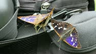 Stock Video Footage of Lesser Purple Emperor (Apatura ilia)