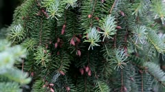 Pine tree after the rain Stock Footage