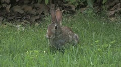 Rabbit chewing - stock footage