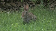 Stock Video Footage of Rabbit chewing