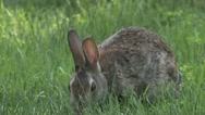 Rabbit eating Stock Footage