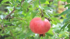 pomegranate - stock footage