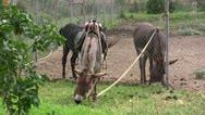 Donkeys Stock Footage
