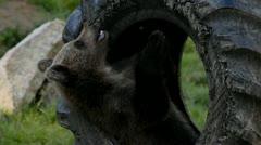 Bear cub playing Stock Footage