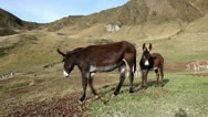 A jenny (female donkey) with his colt, running away Stock Footage