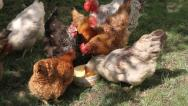 Hungry hens in action, Gallus gallus domesticus Stock Footage