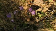 Blue anemone, close-up Stock Footage