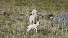 Little lamb just born. Stock Footage