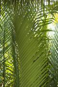 Tropical tree tops in Hou Chi Min (Saigon), Vietnam.   - stock photo