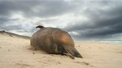 Timelapse Dead Marine Mammal from Environmental Distaste - stock footage