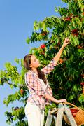 Cherry tree harvest summer woman sunny countryside Stock Photos