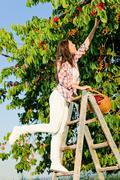 cherry tree harvest summer woman climb ladder - stock photo