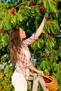 Cherry tree harvest summer woman stand ladder Stock Photos