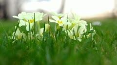 Primrose in the grass Stock Footage