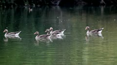 Geese crossing the pond. Greylag Goose (Anser anser). Stock Footage