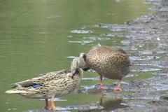 Hawaiian Duck / Koloa (Anas wyvilliana) Stock Footage