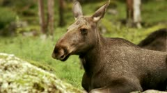 A moose - stock footage