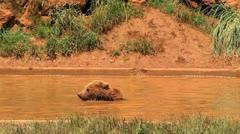 bears eight - stock footage
