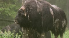 A musk ox Stock Footage