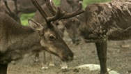 Reindeer at a zoo Stock Footage