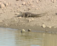 Zoom shot of Crocodile at Gir Forest India Stock Footage