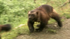 Two wolverine playing Stock Footage