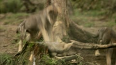 Wolf cubs at a zoo Stock Footage