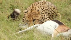 A Cheetah subdues its prey in the Masai Mara, Kenya, Africa. - stock footage