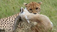 Stock Video Footage of A Cheetah subdues its prey in the Masai Mara, Kenya, Africa.