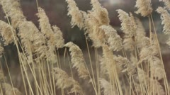 Dry sedge in the wind - stock footage