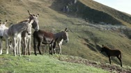 Parade of a jackass (male donkey) in front of his peers. Stock Footage