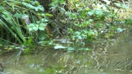 Stock Video Footage of Flying Funny Sparrow Playing in Creek, River Water, Bathing, Drinking