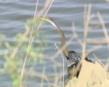 Snake Bird at Gir Forest India Stock Footage