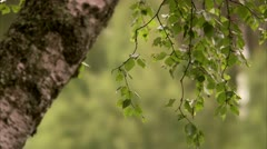 A birch Stock Footage