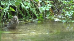 Funny Sparrow Bird Playing in a Creek, River Water, Bathing, Drinking Stock Footage