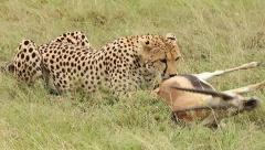 A Cheetah begins to feed on its still-living prey in Kenya, Africa. - stock footage