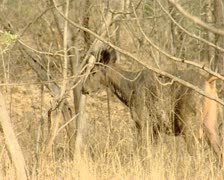 Sambhar Deer at Gir Forest India Stock Footage