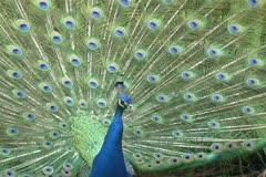 Common Peafowl (Pavo cristatus) - stock footage