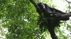 A WILD Endangered Chimpanzee Rests Sleepily in Kigale Forest, Uganda, Africa. Stock Footage
