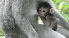 Monkey and baby - stock footage