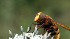 Macro, close-up of a hornet mimic hoverfly. - stock footage