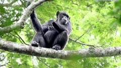 A WILD Endangered Chimpanzee in the Kigale Forest, Uganda, Africa. Stock Footage