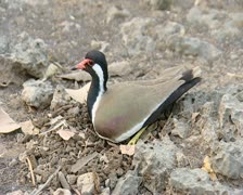 Red Wattled Lapwing Incubating Stock Footage